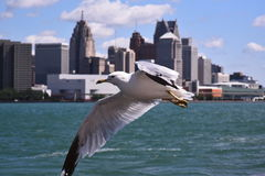 Feathered Friend Glides Over the Detroit River. Skyline of Detroit serves as a backdrop for this seagull royalty free stock photo