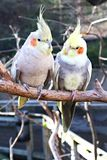 Feathered Friends. Two cockatiels perched on a branch in conversation Stock Photos