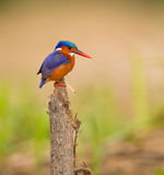 A feathered jewel: Malachite Kingfisher royalty free stock image