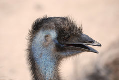 Feathered Large Emu Bird Profile Royalty Free Stock Photos