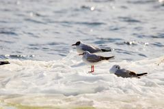 Feathered seagulls floating on an ice floe along the river Stock Image