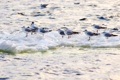 Feathered seagulls floating on an ice floe along the river Royalty Free Stock Photos