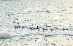 Feathered seagulls floating on an ice floe along the river Royalty Free Stock Image