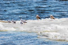 Feathered seagulls floating on an ice floe along the river Stock Photography