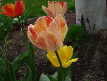 Feathered Tulip. That is yellow and orange, surrounded by other tulips Stock Photos