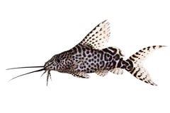 Featherfin发出短促刺耳声物鲶鱼Synodontis Epterus在白色隔绝的水族馆鱼 免版税库存图片