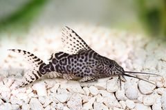 Featherfin squeaker catfish Synodontis Epterus Aquarium fish isolated on white Stock Image