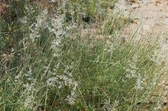 Feathergrass blossom Stock Image