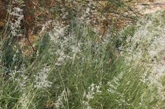 Feathergrass blossom Stock Images