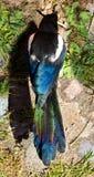 Feathering colorido bonito de uma pega Fotos de Stock Royalty Free