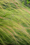 Feathering Grass. This feathering grass makes a great background for your text, webpage, or creativity! The peaceful breeze blowing will calm any mood Stock Image