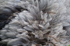 Feathering of The Greater Rhea (Rhea americana) Royalty Free Stock Image