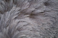 Feathering of The Greater Rhea (Rhea americana) Stock Photo
