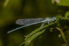 Featherleg azul (pennipes de Platycnemis) Foto de archivo