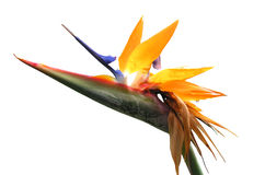 Featherless Bird of Paradise Royalty Free Stock Image