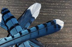 Feathers. Blue Jay feathers dislodged in an encounter with a hawk. Photographed in northern Virginia stock images