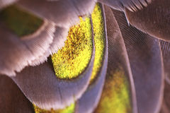 Feathers. Close up photograph of feathers belonging to a Bronzed Winged Pigeon Royalty Free Stock Images