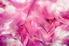 Feathers. Close-up of Purple pink and white feathers for background use Royalty Free Stock Photo