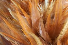 Feathers. Background with the gold feathers royalty free stock image