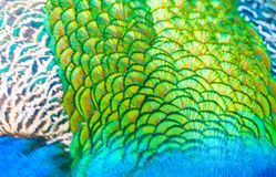 Feathers of an Adult Male Peacock. An adult beautiful male peacock eating on a green spring garden with green grass. Close up of the feathers and coloring of the royalty free stock photos