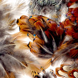 Feathers. Beautiful display of Pheasant feathers, the colors vibrant and appealing Stock Image