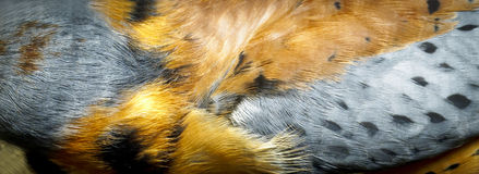 Feathers from a Bird of Prey - American Kestrel Stock Photo