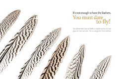 Feathers with black stripes, isolated on white, sample text Royalty Free Stock Image