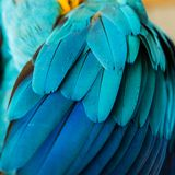 Feathers of a Blue and Gold Macaw. Beautiful Flight Feathers of a Blue and Gold Macaw Stock Photos