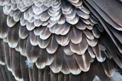 Feathers. Brown Feathers of a wild bird Royalty Free Stock Photos