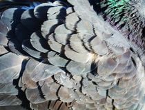 Feathers. Of a dove, shining in the sun, close-up Stock Photo
