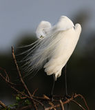 Feathers fly in the wind of a great white egret in Florida Stock Photo