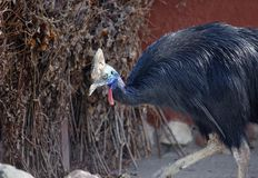 Cassowary bird. The feathers have a very soft, resembling fur of animals. The cassowary has a `helmet` on the head Royalty Free Stock Photos