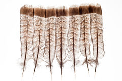 Feathers isolated on white. Tail feathers of ruffed grouse isolated on white background Stock Images