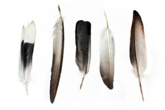 Feathers. Isolated on a white Royalty Free Stock Images