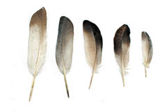Feathers. Isolated on a white Royalty Free Stock Photos