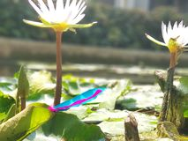 Feathers lotus flower royalty free stock photo
