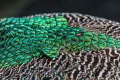 Feathers pattern on the back of Indian peacock Royalty Free Stock Images