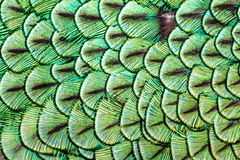 Feathers pattern on the back of Indian peacock Stock Image