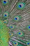 Feathers of a peacock. Beautiful feathers of a peacock royalty free stock image