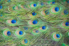 Feathers of a peacock. For background stock image