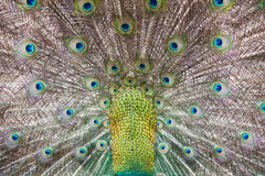 Feathers of a peacock. Beautiful feathers of a peacock stock photo