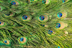 Feathers of a peacock. Background from the feathers of a peacock royalty free stock photos