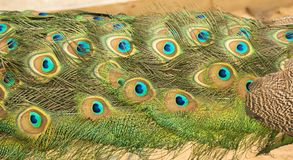 Feathers of the peacock. Beautiful feathers of the peacock`s tail, Close up stock photos