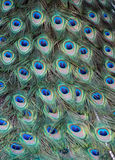 Feathers of a peacock Royalty Free Stock Photos