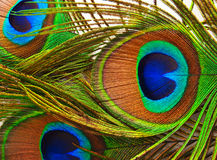 Feathers of a peacock close up. Bright feathers of a peacock close up Royalty Free Stock Photo