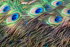 Feathers of a peacock close. Close up beautiful feathers in peacock`s tail royalty free stock images