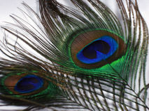 Feathers of a Peacock. Closeup of  feather of a peacock with blue and green combination Royalty Free Stock Photography
