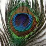 Feathers of a Peacock. Closeup of  feather of a peacock with blue and green combination Stock Photography
