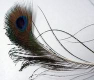 Feathers of a Peacock. Closeup of  feather of a peacock with blue and green combination Royalty Free Stock Image