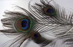 Feathers of a Peacock. Closeup of  feather of a peacock with blue and green combination Royalty Free Stock Images